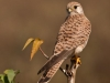 Common Kestrel-Female