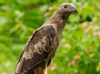 Crested Honey Buzzard,