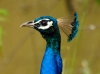 Indian Peafowl-male (Peacock)