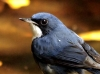 Siberian Blue Robin - Male