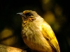 Stripe-throated Bulbul-Male