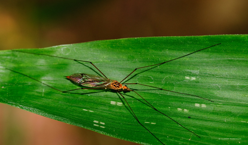Crane Fly (Nephrotoma Suturalis Wulpian)