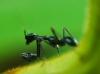 Ant Mantis (Odontomantis planiceps)