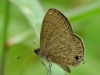 Common Lineblue