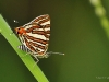 Common Silverline (Spindasis vulcanus)