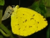 Grass Yellow coming out of its pupa