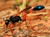 Orange Potter Wasp