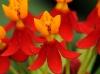 Scarlet Milkweed (Asclepias curassavica)