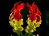 Gloriosa superba (Glory Lilly)