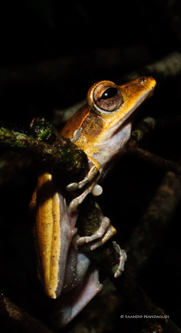 False Hourglass Treefrog