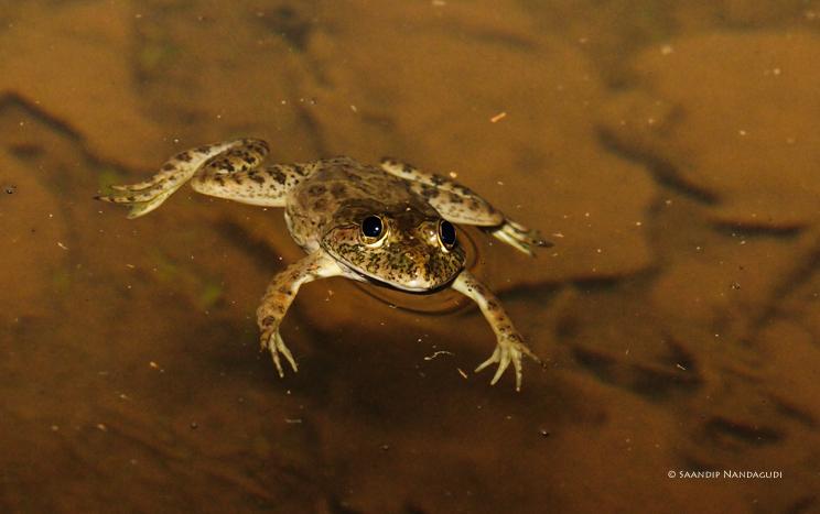 Skitter Frog