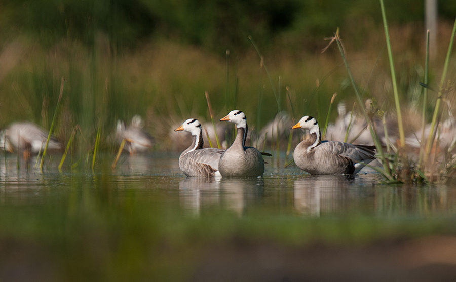 Magadi Bird Sanctuary – Bar-Headed Goose