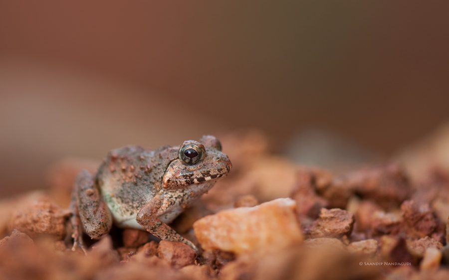 Reddish Burrowing Frog