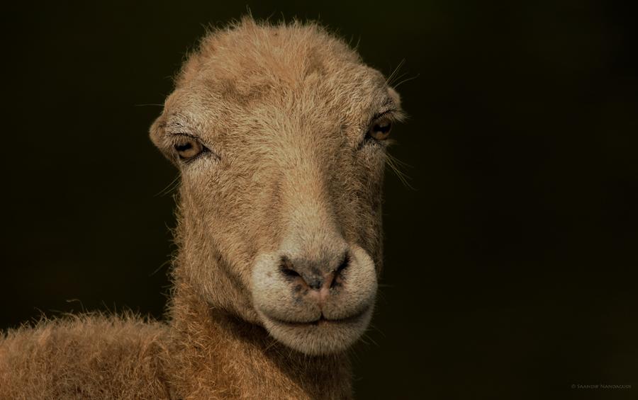 Garole Sheep – Bi-annual lambing
