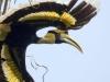 Greater Hornbill