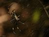 Giant Wood Spider - Female