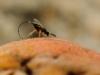 Fig Wasp