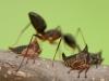 Thorn mimic hopper