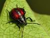 Stink Bug (Euthyrhynchus Floridanus)