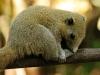 Grey Bellied squirrel