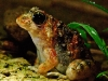 Rufous Cricket Frog