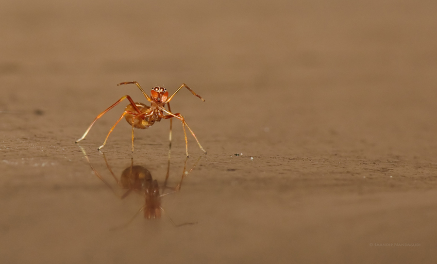 Ant Mimicry-2