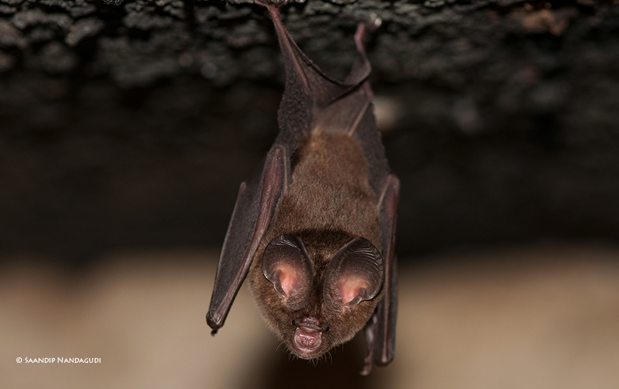 Leaf-nosed Bat